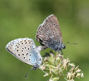 Large Blues mating- Rob Stokes