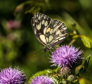 Marbled White on thistle- Brian Sweeting