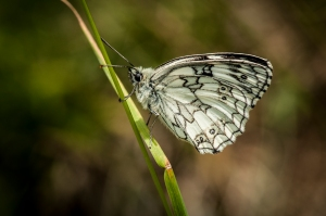 Marbled White- Marc Arbuckle