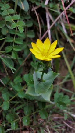 yellow wort